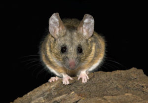 Peromyscus californicus Photo by Mark A. Chappell